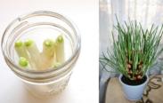 como plantar cebolinha em casa