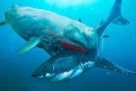 6 Dos Mais Perigosos Inimigos do Megalodonte