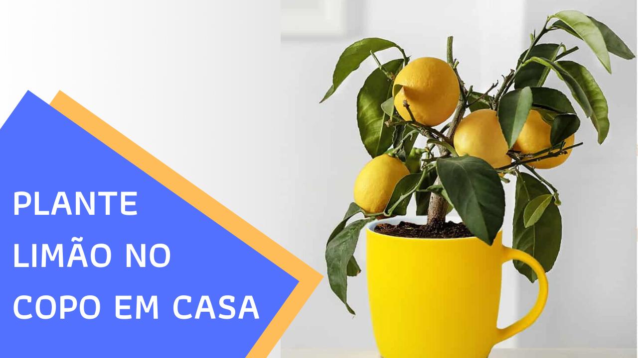como plantar limão em copo